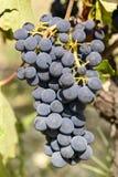 Dolcetto成熟葡萄束02,山麓,意大利 库存图片