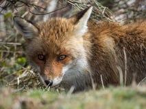 Dold röd räv (Vulpesvulpes) Arkivbilder