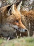 Dold röd räv (Vulpesvulpes) Royaltyfria Foton