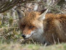 Dold röd räv (Vulpesvulpes) fotografering för bildbyråer