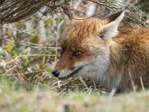 Dold röd räv (Vulpesvulpes) arkivfoton