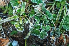 Dold rimfrost för jordgubbesidor arkivbilder