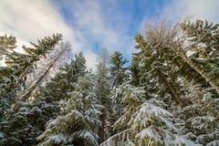 Dold spurceskog Norge för snö Royaltyfria Bilder