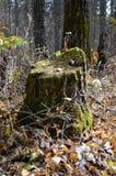 Dold trädstubbe för mossa i en skog Royaltyfri Fotografi