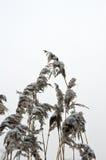 Dold vass för snö Royaltyfri Foto