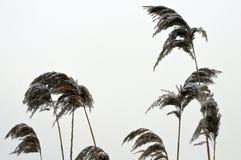 Dold vass för snö Fotografering för Bildbyråer