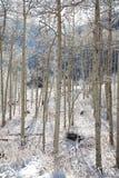 Dolda aspar för snö fotografering för bildbyråer