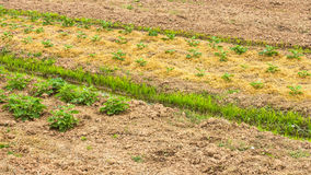 Dolda aubergineplantor för sugrör Royaltyfria Bilder