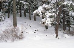 Dolda barrträd för snö Arkivbild