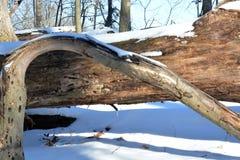 Dolda döda träd för snö royaltyfria bilder