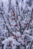 Dolda röda bär för snö i nordliga Wisconsin arkivbild