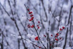 Dolda röda bär för snö i nordliga Wisconsin arkivbilder