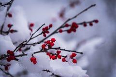 Dolda röda bär för snö i nordliga Wisconsin royaltyfri fotografi