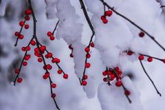 Dolda röda bär för snö i nordliga Wisconsin arkivfoton