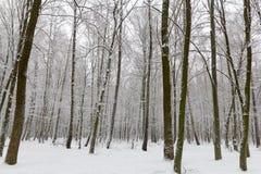 Dolda träd för snö i vinterskogen royaltyfria foton