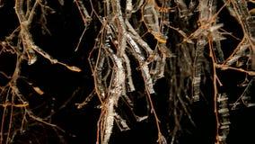 Dolda trädfilialer för rimfrost med iskalla blad Mörk natt för frysning i bakgrund Kylig natt lager videofilmer