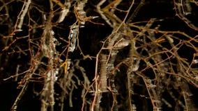 Dolda trädfilialer för rimfrost med iskalla blad Mörk natt för frysning i bakgrund Kylig natt arkivfilmer