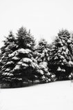 Dolda vintergröna träd för snö Arkivfoton