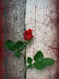 Doleful rose. Doleful red rose on the background royalty free stock photography