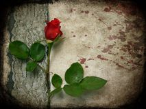 Doleful rose. Doleful red rose on the background royalty free stock images