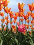 Dolend roze in het midden van de sinaasappel Stock Fotografie