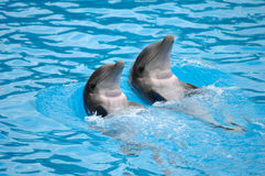 Dolephin race Stock Image