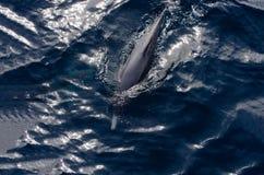 dolfijn Royalty-vrije Stock Foto