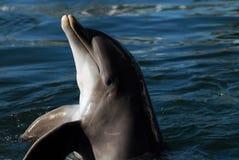 Dolfijn Royalty-vrije Stock Fotografie