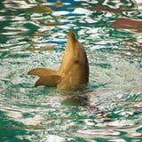Dolfijn Royalty-vrije Stock Foto's