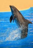 Dolfijn achteruit Royalty-vrije Stock Foto