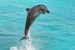 Dolfijn Bottlenose stock afbeeldingen