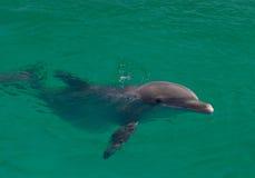 Dolfijn in de Atlantische Oceaan Stock Afbeeldingen