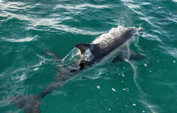 Dolfijn in de oceaan Stock Foto's
