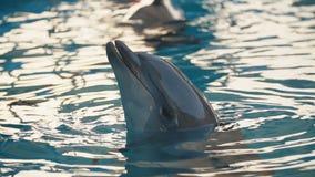 Dolfijn in de pool stock videobeelden