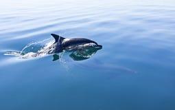 dolfijn De dolfijn van de Zwarte Zee bottlenose lat Ponticus van Tursiopstruncatus royalty-vrije stock afbeelding