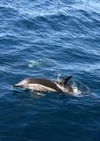 Dolfijn in de wildernis stock foto