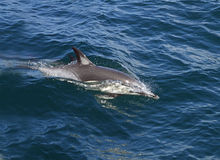 Dolfijn in de wildernis stock afbeeldingen