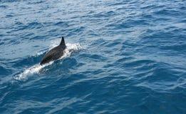 Dolfijn die alleen zwemt Royalty-vrije Stock Foto's