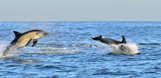 Dolfijn, die in de oceaan zwemmen Stock Afbeelding