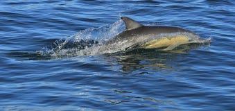 Dolfijn, die in de oceaan zwemmen Royalty-vrije Stock Foto's