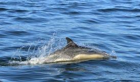 Dolfijn, die in de oceaan zwemmen Royalty-vrije Stock Afbeeldingen