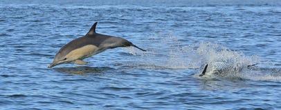 Dolfijn, die in de oceaan zwemmen De dolfijn zwemt en springend van het water De Long-beaked gemeenschappelijke dolfijn wetenscha Stock Afbeelding