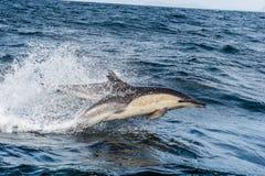 Dolfijn die, die in de oceaan zwemmen en voor vissen jagen Royalty-vrije Stock Foto's