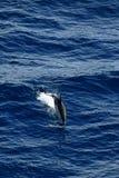 Dolfijn die in het overzees duiken royalty-vrije stock fotografie