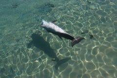 Dolfijn die ondersteboven zwemt Stock Foto