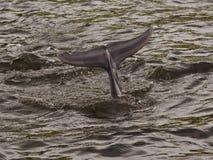 Dolfijn die in water duiken royalty-vrije stock afbeelding