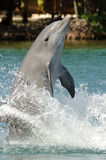 Dolfijn die zich op staart bevindt Royalty-vrije Stock Fotografie