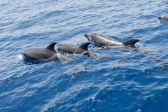 Dolfijn in een water Stock Foto