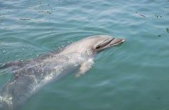 Dolfijn in het overzees stock afbeelding
