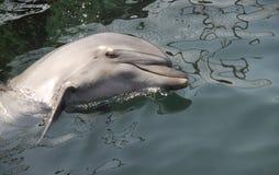 Dolfijn in het overzees stock foto's